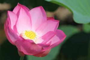 lotus_1_1