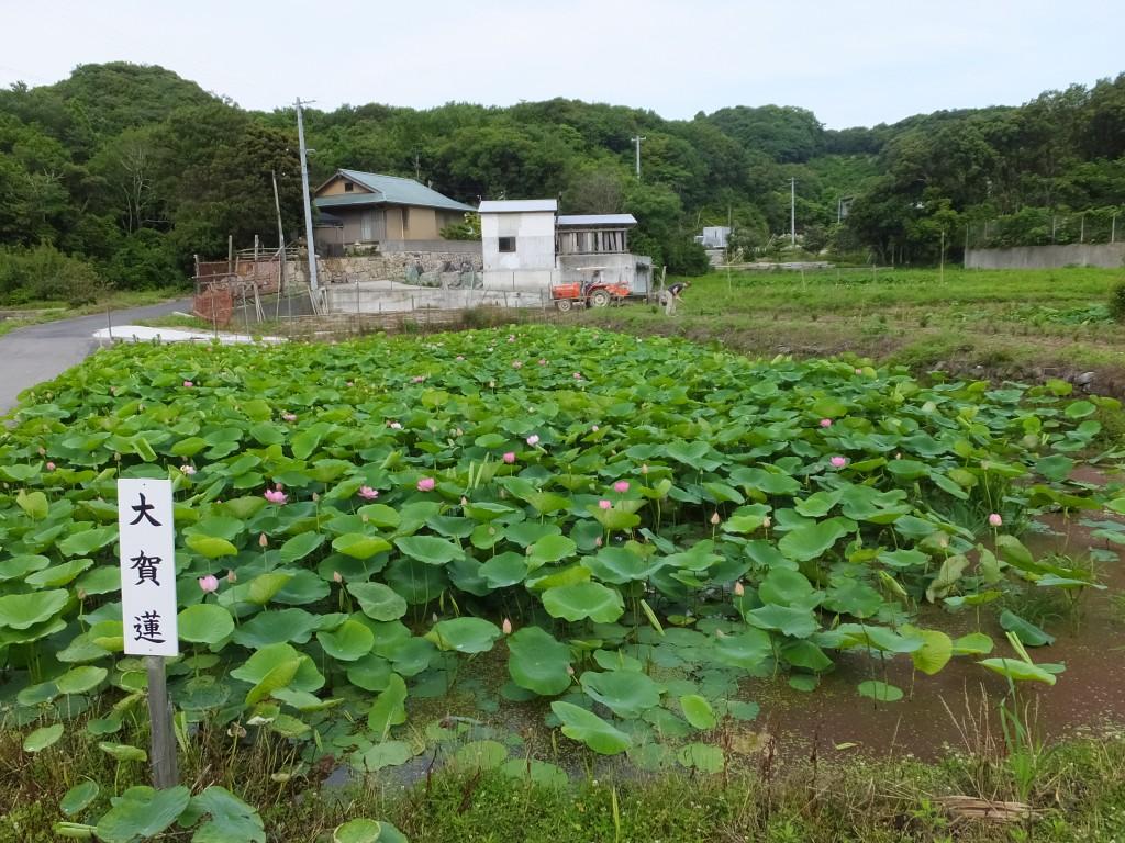 中島田の大賀蓮