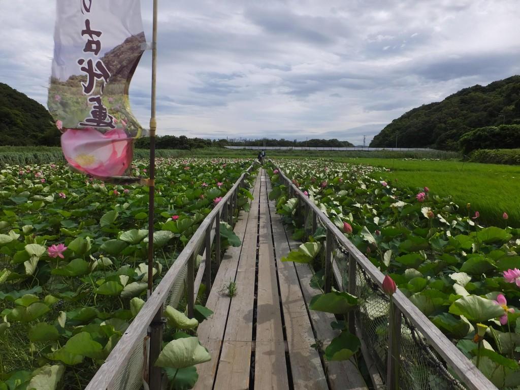 大島田の大賀ハス