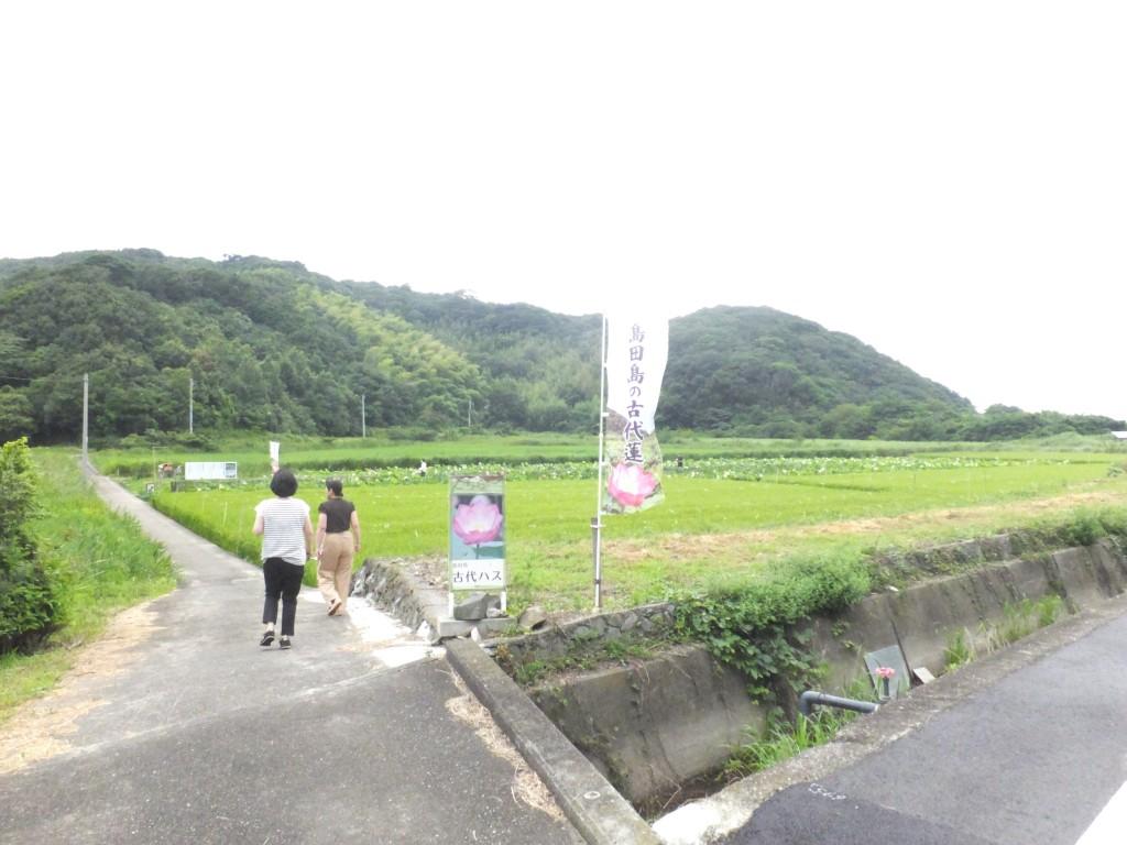 大島田の古代蓮