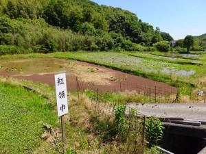 中島田の古代ハス