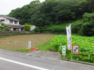 中島田の大賀蓮と紅島田