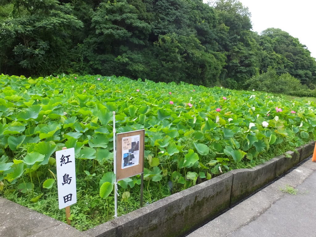 中島田の蓮・紅島田