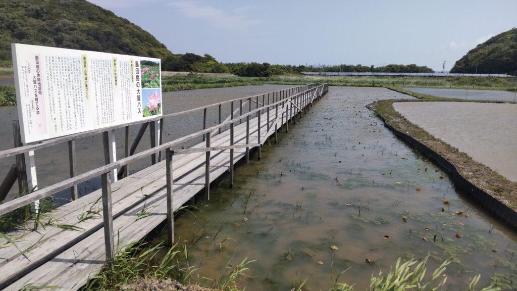 大島田の古代蓮ほ場