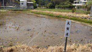 島田小学校横の古代蓮