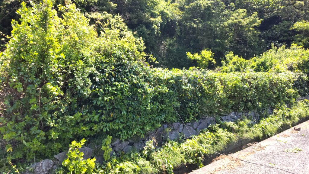 バナナ植樹畑の垣根