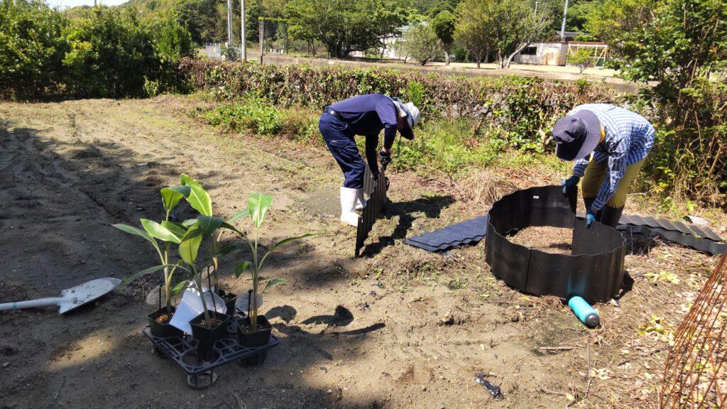 バナナの苗植え