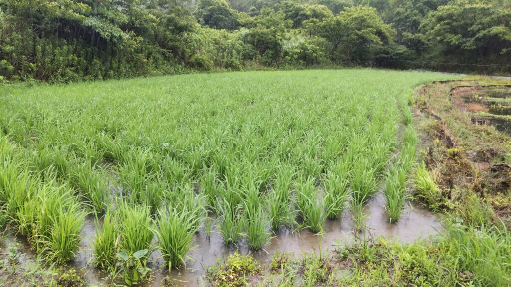 中島田の古代米