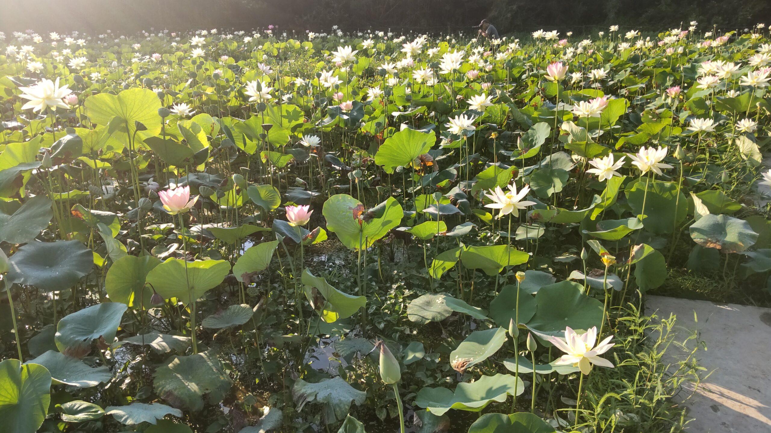 中島田の花ハス