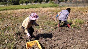 レンコン収穫体験
